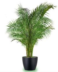 indoor palms are the most common large houseplants they are quite undemanding and many of them grow well in exposure to part or indirect sun