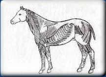 Equine Anatomy Charts