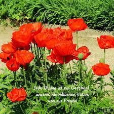 Roter Mohn Garten Der Poesie