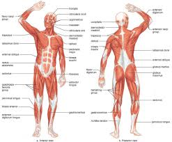 Muscles Of The Human Body Blank Tags Blank Muscle Chart