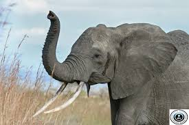 short essay on elephant paragraph on elephant elephant essay  elephant