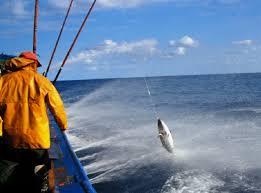 Resultado de imagen de atun rojo o bonito del norte