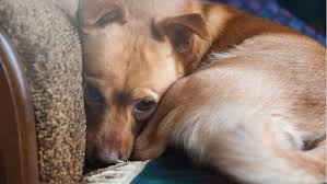 does your dog need anxiety cation