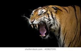 tiger roar side view. Unique Roar Sumatran Tiger Roaring To Roar Side View R