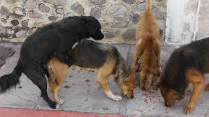 dogs and cats mating together. Fine Cats Street Dog Copulates While Other Dogs Eat On The Sidewalk 3rd World Scene And Cats Mating Together