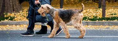Airedale Weight Chart Airedale Terrier Dog Breed Facts And Personality Traits