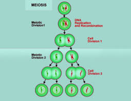 Meiosis 1 The Different Phases Of Meiosis 1 Cell Division