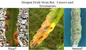 17+ Anthracnose Disease In Dragon Fruit Pics