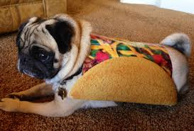 pug in taco costume. Beautiful Taco Meet Elvis The Pug Taco For In Taco Costume S