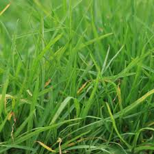 Turf Identification Lawn Addicts