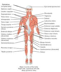 These are powerful muscles, which help you bend forward and return to a standing position. The Muscles Of The Trunk Human Anatomy And Physiology Lab Bsb 141