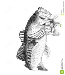 bass fish drawing step by step. Wonderful Step Bass Fish Drawing For Step By F