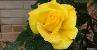 yellow roses names varieties meaning