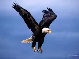 Resultado de imagem para águia real