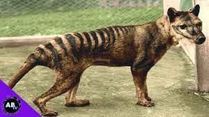 La tigre della Tasmania potrebbe non essere estinta: misteriosi animali  avvistati in Australia (VIDEO) -