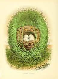 Light Blue Eggs In Nest The Nests And Eggs Of Birds Of The United States By Thomas