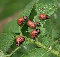 Картинки по запросу колорадський жук