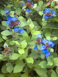 Ceratostigma Plumbaginoides -- Bluestone Perennials