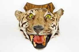 a tiger s head mounted on wood taxidermy 1st half 20th c