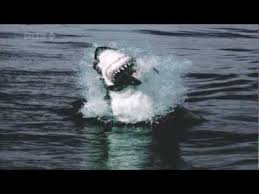 great white shark jumping for seal.  Seal Great White Sharks Jumping Out Of The Water To Catch Seals HD On Shark Jumping For Seal