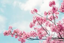 Bunga Sakura 4 Tempat Melihat Sakura Di Indonesia