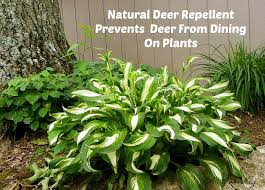 deer repellent for gardens. Delighful Gardens Win The Battle With The Deer U2013 Natural Repellent To For Gardens E