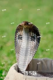 stock photo spectacled cobra in basket of snake charmer new delhi india
