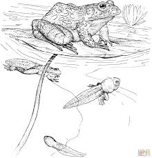 Small Picture Tadpole and Froglet coloring page Free Printable Coloring Pages