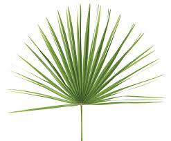 fan palm. palm altar decor   meditterranean bag of 8 fan