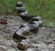 amazon rainforest animals anaconda. Amazon Rainforest Animals Anaconda Inside