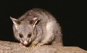 Possum Removal Services Sydney Sydney Possum Removal Certified Possum Catcher