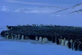 emperor penguin huddle. Unique Huddle Emperor Penguins Huddle Together For Warmth During Those Punishing  Antarctic Storms Taking Turns Being At The Center Of Huddle Throughout Penguin Huddle