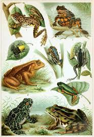 Vintage Frog Chart Frogs Poster Amphibian Poster Natural Science Cabin Decor Frog Art Frog Lover Gift Frogs Illustration