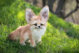 baby fennec fox. Exellent Fennec Baby Fennec Fox On