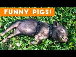 13 <b>Funny Pig</b> Videos || Awesome Compilation - YouTube