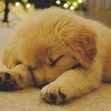 golden retriever puppies sleeping. Wonderful Puppies Cute Puppies Images Sleeping Golden Retriever Puppies Wallpaper And  Background Photos On Golden Retriever Sleeping U