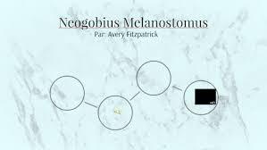 Neogobius Melanostomus by Avery Fitzpatrick on Prezi Next