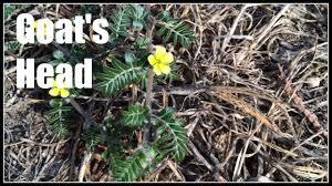 goat head weed killer.  Killer Goatu0027shead Tribulus Terrestris Noxious Weed  Ninja Gardening Episode  29 To Goat Head Killer K