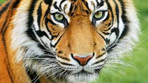 images of tigers. Beautiful Tigers Tiger In Images Of Tigers S