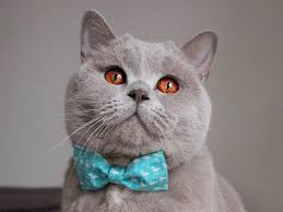 british shorthair cats 7 reasons why