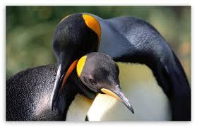 penguin love wallpaper. Unique Love Download King Penguins Love HD Wallpaper With Penguin