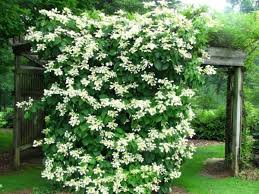 19 Best Pergola Plants  Climbing Plants For Pergolas And Arbors Climbing Plants That Like Shade