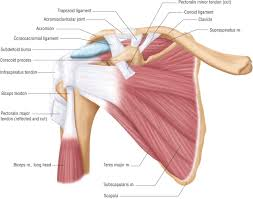 diagram of tendons left arm not lossing wiring diagram • basic shoulder anatomy patients crossing oceans hand tendons diagram upper arm tendon diagram