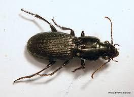 Black Beetle Identification Chart T E R R A I N Taranaki Educational Resource Research