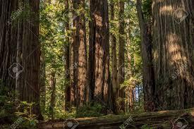 Image result for Sequoia sempervirens