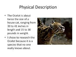 ocelot size the ocelot