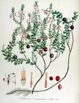 Images & Illustrations of vaccinium macrocarpon
