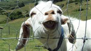 funny goats pilation funny goats screaming hd epic laughs you