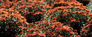 mums starting at 4 97 at prairie gardens champaign il