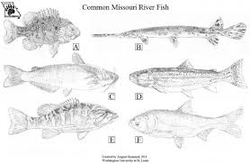 Common River Fish Of Missouri Missouris Natural Heritage